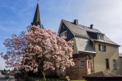 Magnolien in Reusrath - Langenfeld