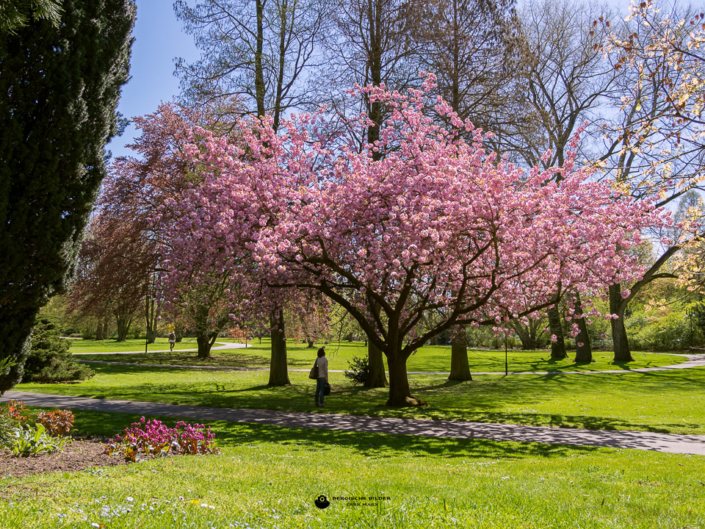 Kirschblüte im Carl-Duisberg-Park