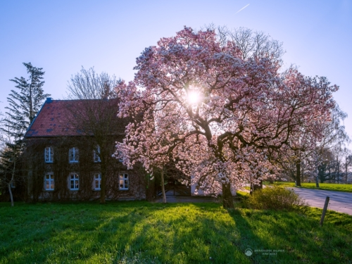 Gut Haswinkel Magnolienbaum - Leichlingen