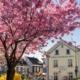Bergischer Hof Kirschblüte