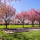 Bouleplatz am Stadtpark zur Kirschblüte