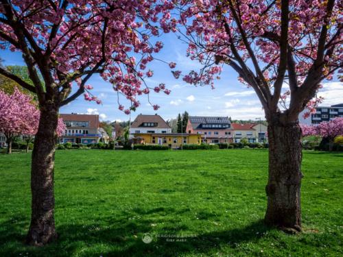 Stadtpark Pavillon zur Kirschblüte