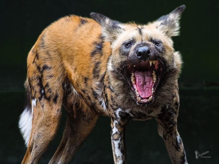 Wildhund